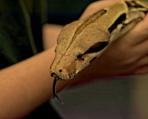 Boa constrictor flicks tongue in and out