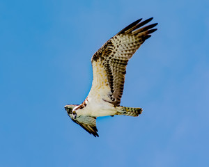 Osprey looking for fish in the surf over St. Pete Beach, Florida