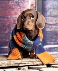 Dachshund wearing a scarf