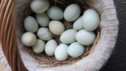 Fresh basket of blue eggs