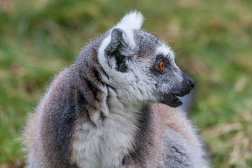 Portrait of a Lemur