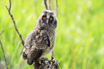 little owlet sitting on a branch among green grass