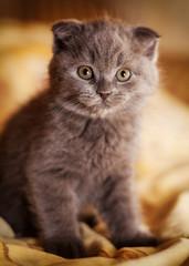 Scottish gray kitten.