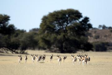 Springboks in veld