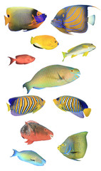 Fish isolated. Tropical fish white background. Angelfish, Parrotfish, Bannerfish, Butterflfish, Snappers, Sweetlips fish