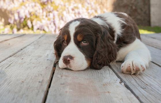 Springer spaniel puppy dog lays down on wood deck