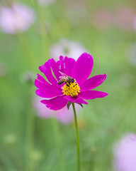 Bombyliidae bee on purple flower