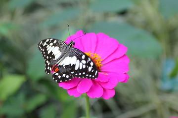 butterfly on pink flower
