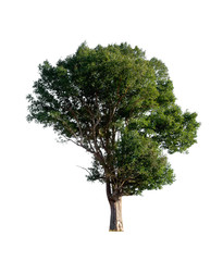 isolated tree on white background with clipping path.
