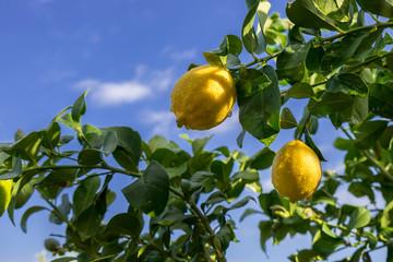 A lemons spangled tree on blue sky background