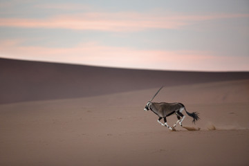 Oryx in the Sand Dunes