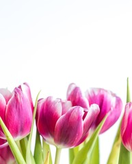 Beautiful two colored tulips close up on white background