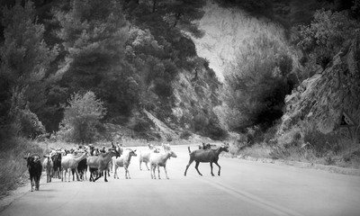 Black and white photo of goats on the road