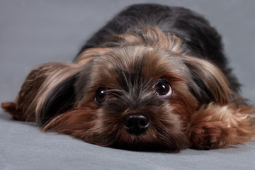 Yorkshire terrier on a gray background close up