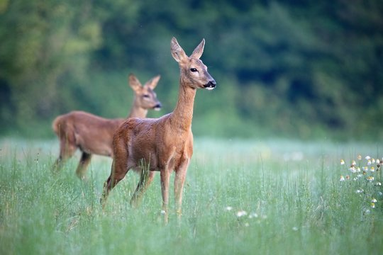 Capreolus capreolus,  Roe Deers are standing on the summer meadow before the sun in the grass with early dew. Slovakia Wildlife scenery.