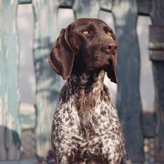 Dog portrait. German pointer dog in garden.