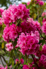 Huge Pink Rhododendrons