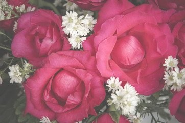 rose flower use for Valentine's Day, vintage retro filter image