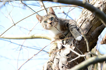 young grey cat sitting in apple tree watching out for birds. my own cat.