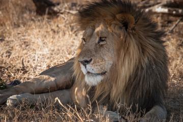 Old lion.