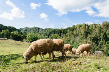 Herd of sheep on green grass in a meadow
