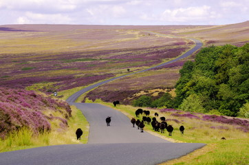Black Sheep walking down the road over Spaunton Moor, just above Hutton Le Hole on the North York Moors