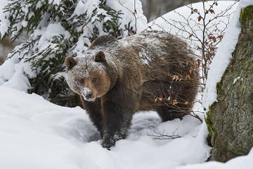 Ein europäischer Braunbär im Schnee