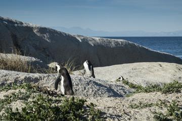 pinguins a caminhar na praia de cape town