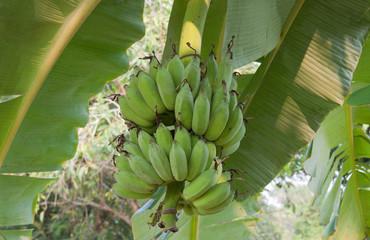 Cultivated banana tree
