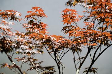 Japanese Maple Tree (Acer palmatum), Los Angeles, CA, USA.