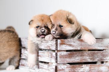 Puppies dog Akita breed