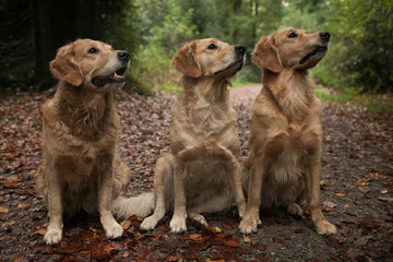 Three labradors sitting in woodland, side by side