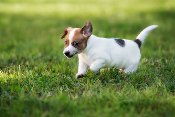 jack russell terrier puppy walking outdoors in summer