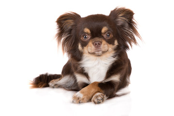 funny chihuahua dog lying down with crossed paws