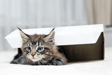 Маленький пушистый котенок Мейн-кун  играет с коробкой.