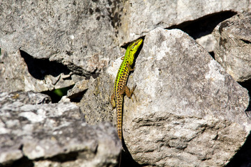 Green lizard climbing a rock in croatia