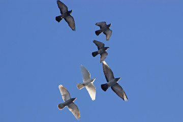 Flock of birds swarming on blue sky.
