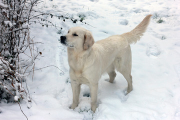 white dog Golden Retriever with snow-covered face stands in the