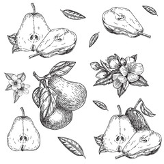 vector set hand made sketch illustration of engraving pear on white background