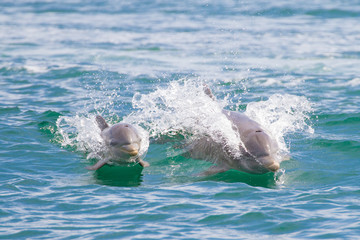 Mother and Baby dolphin in Dolphin Bay, Panama