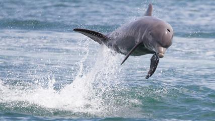 Bottlenose Dolphin jumping