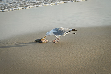 Seagull eating dead fish washed up on the dutch beach