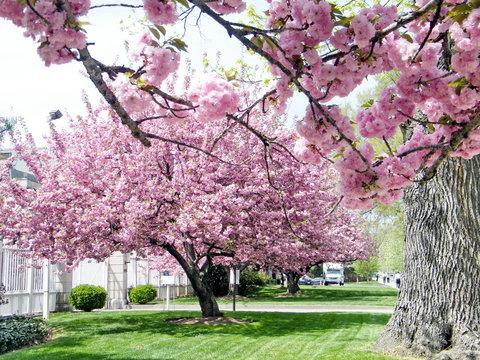 Washington sakura tree April 2010