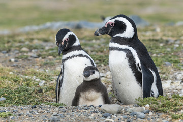 Magellanic penguins with a baby, Magdalena island in Patagonia, Chile, South America