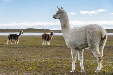 llamas in Pampas