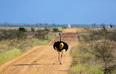 Struthio camelus (Ostrich), male - Tsavo East, Kenya