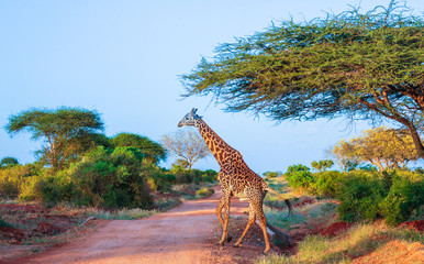 Giraffe in  East Tsavo Park in Kenya Wall mural