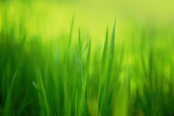 spring grass close-up background