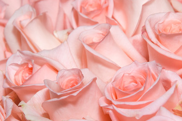 Bunch of pink roses closeup. For a wide use in your design.