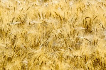 Golden Grain 02
